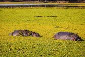 Vilda flodhäst — Stockfoto