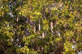 Sausage tree — Stock Photo
