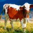 Cow on a summer mountain pasture — Stock Photo #62210403
