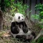 Hungry giant panda — Stock Photo #62210769