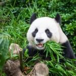 Hungry giant panda — Stock Photo #62210771