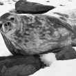 The grey seal — Stock Photo #62212777