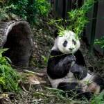 Hungry giant panda — Stock Photo #62213249