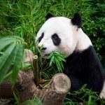 Hungry giant panda — Stock Photo #62213257
