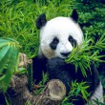 Hungry giant panda — Stock Photo #62213259