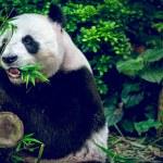 Hungry giant panda — Stock Photo #62213281