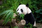 Hungry giant panda — Stock Photo