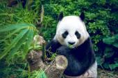 Giant panda — Стоковое фото