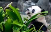 Panda gigante — Foto de Stock