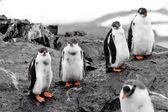 Group of penguin chicks — Stock Photo
