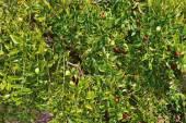 Olive background — Stock Photo