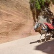 Horse carriage in a gorge, Siq canyon in Petra — Stock Photo #73118921