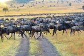 African wildlife. Great migration antelopes Gnu — Stock Photo