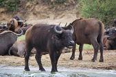 Buffaloes, Africa — Stock Photo