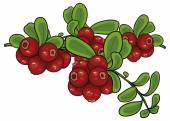 Cowberry branch — Stock Vector