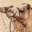 Camels in desert — Stock Photo #65495769