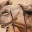 Camels in desert — Stock Photo #65495807