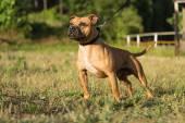 Staffordshire bull terrier — Stock Photo