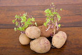 Potatoes sprouting — Stock Photo