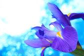 Blue iris flowers background — Stock Photo