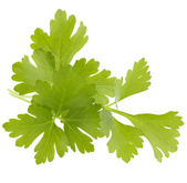 Fresh parsley herb  leaves — Stock Photo