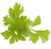 Listy byliny čerstvé petržele — Stock fotografie