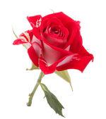 Czerwony kwiat róży — Zdjęcie stockowe