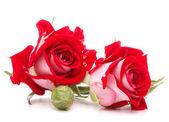 赤いバラの花 — ストック写真