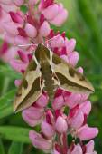 Hawk moth (Hyles euphorbiae) — Stock Photo