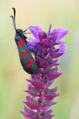 Day moth (Zygaena filipendulae) — Stock Photo