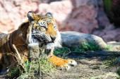 Vila tiger — Stockfoto