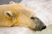 полярный медведь голова — Стоковое фото