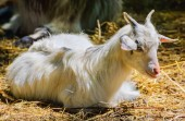 Home Goat — Stock Photo