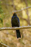 Common Blackbird — Stock Photo