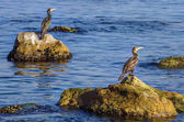 Cormorants — Stock Photo