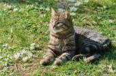 Lying Cat — Stock Photo