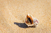 Veined Rapa Whelk — Stock Photo