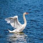 Swan — Stock Photo #64604793