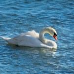 Swan — Stock Photo #67053667