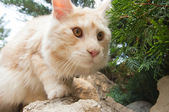 Maine Coon in wide angle view — Stock Photo