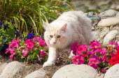 Maine Coon and flowers — Stock Photo