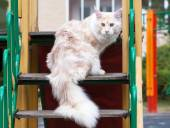 Maine Coon on stair — Stock Photo