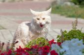 Maine Coon in midday heat — Stock Photo