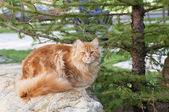 Red Maine Coon cat on rocks — Stock Photo