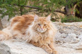 Red Maine Coon cat portrait — Stock Photo