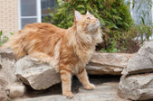 Maine Coon cat looking up — Stock Photo