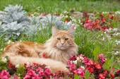 Maine Coon cat lying on flowerbed — Stockfoto