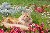 Maine Coon cat lying on flowerbed — Stock Photo