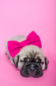Puppy on pink background with pink bowtie — Stockfoto