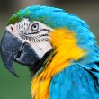 A blue and yellow macaw — Stock Photo #57886567